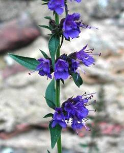 390651_081215105311_Hyssopus_officinalis3
